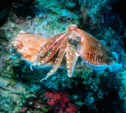 scuba diving for cephalopods
