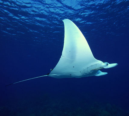 koh tachai pinnacle manta rays